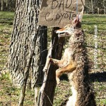 Dead_coyote_on_fence_1